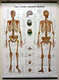 "The Human Skeletal System 25"" x 35"" Wall Chart"