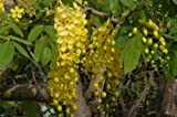 Cassia fistula Tree 3 Seeds golden shower tree Yellow flower shower
