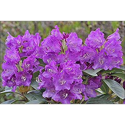 """Rhododendron True Blue - Bright Purple Bloom- Grows Five Feet Tall (8"""" to 12"""" Wide Plant – Typically Two Gallon) : Garden & Outdoor"""