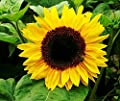 Golden Niger Sunflower Seeds - Small Black Seeds with High Oil Content - Great Food for Birds