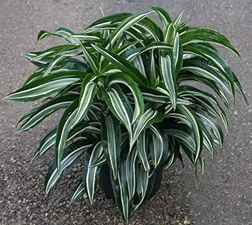 Jade Jewel Dracaena, 6'' by Garden Goods Direct
