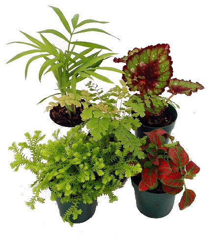 Amazon Com Terrarium Fairy Garden Plants 5 Plants In 2 Pots