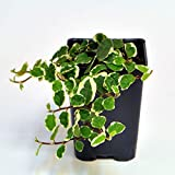 Ficus pumila, Variegated, Creeping Fig