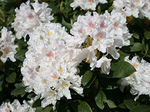 rhododendron-cunninghams-white-three-gallon-plant-bright-white-bloom-with-yellow-blotch