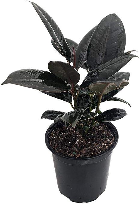 Amazon Com Borgoña India árbol De Goma Ficus Un Viejo Favorito Maceta De 4 Pulgadas Jardín Y Exteriores