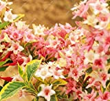 rare beautiful Horse chest nut seeds chestnut tree seed for home garden & house,Rare Ornamental flower 10pcs