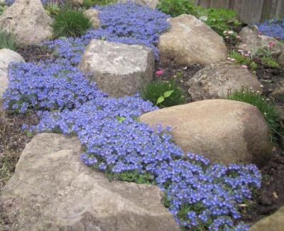 Classy Groundcovers - Veronica 'Georgia Blue' 'Oxford Blue', Cambridge Blue', Speedwell 'Georgia Blue' {25 Pots - 3 1/2 in.} by Classy Groundcovers (Image #3)
