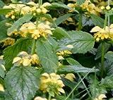 Classy Groundcovers - Lamiastrum galeobdolon 'Variegatum' Lamium galeobdolon {25 Pots - 3 1/2 in.}