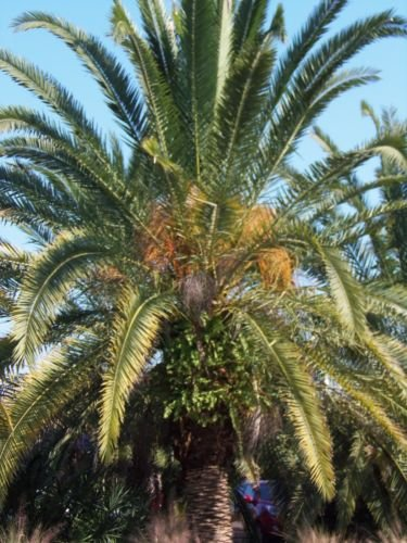 Canary Palm Trees (Canary island date PALM.California Fan Palm tree.FOUR tree 18