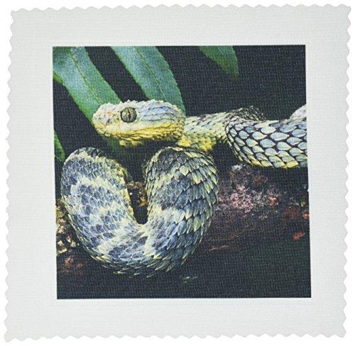 3dRose qs_83957_2 African Bush Viper Snake - NA02 DNO0444 - David Northcott - Quilt Square, 6 by 6-Inch (Bush Viper)