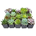 Succulent Plants (20 Pack) Fully Rooted in Planter Pots with Soil | Real Live Potted Succulents / Unique Indoor Cactus Decor by Plants for Pets 13 HAND SELECTED: Every pack of succulents we send is hand-picked. You will receive a unique collection of species that are fully rooted and similar to the product photos. Note that we rotate our nursery stock often, so the exact species we send changes every week. THE EASIEST HOUSE PLANTS: More appealing than artificial plastic or fake faux plants, and care is a cinch. If you think you can't keep houseplants alive, you're wrong; our succulents don't require fertilizer and can be planted in a decorative pot of your choice within seconds. DIY HOME DECOR: The possibilities are only limited by your imagination; display them in a plant holder, a wall mount, a geometric glass vase, or even in a live wreath. Because of their amazingly low care requirements, they can even make the perfect desk centerpiece for your office.