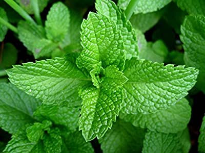 Peppermint , Herb Seeds Heirloom, Organic, Non Gmo 100 Peppermint Seeds, Delicious