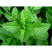 PEPPERMINT , HERB SEEDS HEIRLOOM, ORGANIC, NON GMO 20 PEPPERMINT SEEDS, DELICIOUS