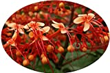 Starshine Orange Pagoda Flower Semi-Tropical Live Plant Clerodendrum paniculatum Attracts Hummingbirds Starter Size 4 Inch Pot Emerald TM