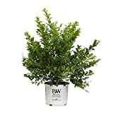 Golden Ticket Privet (Ligustrum) Live Shrub, White Flowers and Yellow Foliage, 3 Gallon For Sale