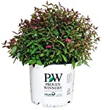 Proven Winners - Spiraea jap. Double Play Red (Spirea) Shrub, red Flowers, 3 - Size Container