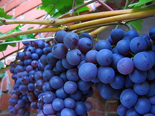 American Juice Table Grape 10 Seeds UPC 648620997661 + 1 Plant Marker Juice Jelly Grape (Grape Seeds For Planting)