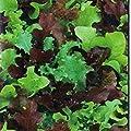 NIKITOVKASeeds - Lettuce Baby Vytamynnoe Assorty - 2000 Seeds - Organically Grown - NON GMO