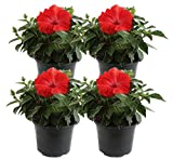 Costa Farms Live Hibiscus Outdoor Plant in in 1 QT Grower Pot, 1QT 4-Pack, Red