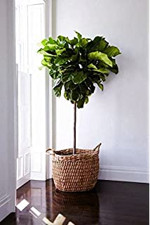 fiddle leaf fig standard ficus lyrata 45 to 55 tall