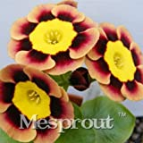 Primula Polyantha Gigantea Flower Seeds perennial Garden Decoration Bonsai Seeds 100 Seeds 6 #32703638162ST
