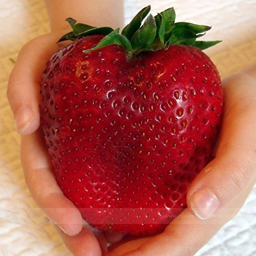 adb-inc-rarest-heirloom-super-giant-japan-red-strawberry-organic-seeds
