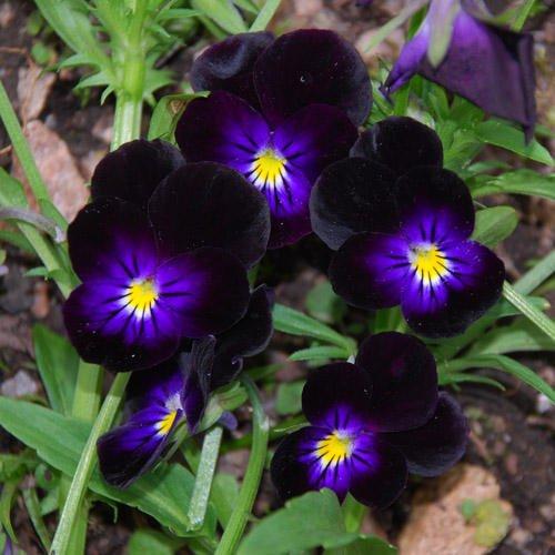 Viola 'Bowles Black' Seeds