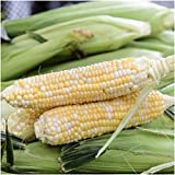 "160 Seeds, Sweet Corn""Butter & Sugar"" (Zea mays) Seeds By Seed Needs"