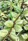 Variegated 'Confederate Jasmine', Trachelospermum Jasminoides Variegatum (1 Tray (60 - 2 inch plants))