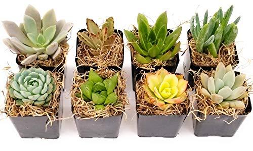 Mini Boxed Arrangement - Fat Plants San Diego Miniature Living Succulent Plants in Plastic Planter Pots with Soil