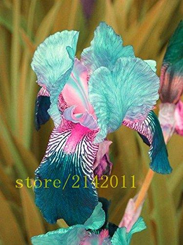 (50pcs/bag pink iris seeds,bearded iris seeds,rare bonsai iris Phalaenopsis Orchid flower seeds,Nature plants for home garden)