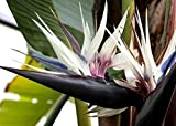 Giant White Bird of Paradise, Flowering Houseplant or Landscape Plant, Strelitzia nicolai