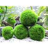 4 Giant Marimo Moss Balls , Live Green Round-Shaped Marimo Aquarium Plant for Fish Tank Decor Natural Toys for Fish Shrimp,1.5 inch to 2.7 inch