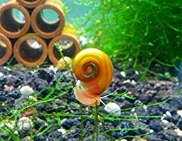 10 Ramshorn Snails Algae Eater Live Freshwater Aquarium Snail - 1/8 to 1/2 inch long By SoShrimp