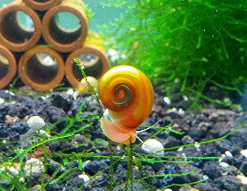 SoShrimp 10 Ramshorn Snails Algae Eater Live Freshwater Aquarium Snail - 1/8 to 1/2 inch Long