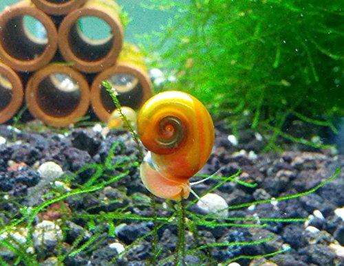 5 Ramshorn Snails Algae Eater Live Freshwater Aquarium Snail -1/8 to 1/2 inch long By SoShrimp