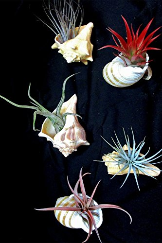 Shell with Tillandsia Air Plant Bromeliad (Cant Ship AZ CA), 1 Pack (3-4in Pot, Live Plant) by Root 98 Warehouse