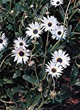 Arctotis Grandis Annual Seeds