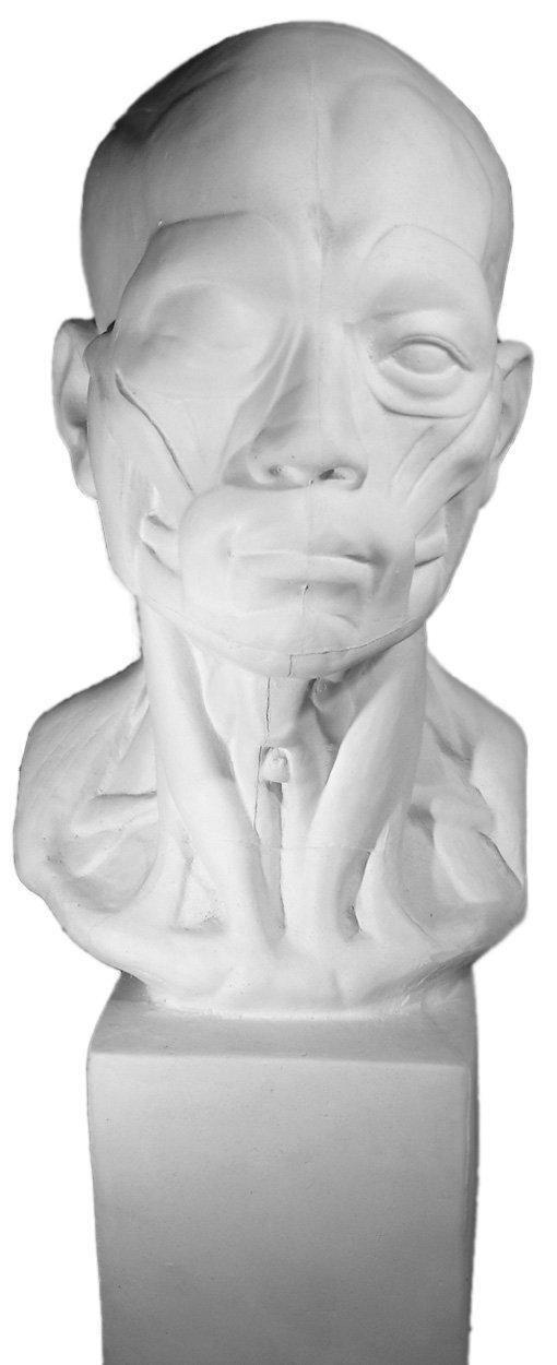 Amazon.de: Torino ges-141 Life Größe Büste von anatomischen Head ...