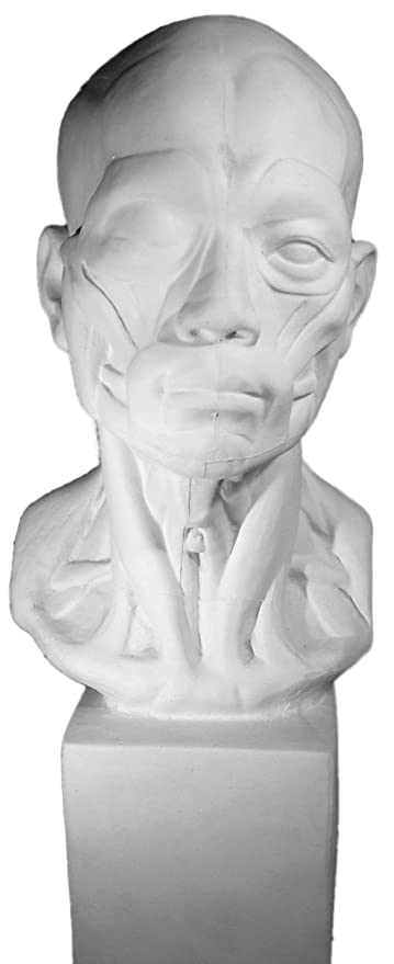 Amazon Torino Ges 141 Life Size Bust Of Anatomical Head Plaster