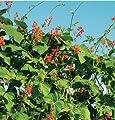 David's Garden Seeds Flower Scarlet Runner Bean (Edible Flowers) D1000A (Red) 25 Heirloom Seeds