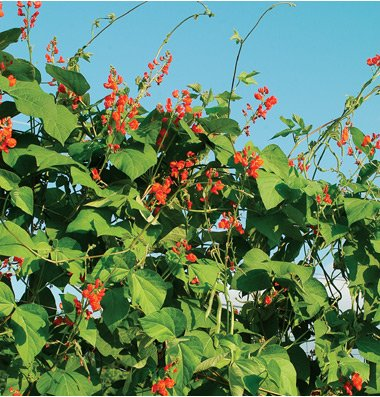 David's Garden Seeds Flower Scarlet Runner Bean (Edible Flowers) D1000A (Red) 25 Heirloom Seeds