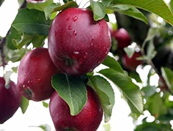 100 graines darbres Malus Hardy, Rapide, Comestible, Couleurs dautomne vegherb Red Delicious Apple