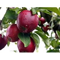 Red Delicious Apple, Malus Pumila, 30 Tree Seeds (Hardy, Fast)