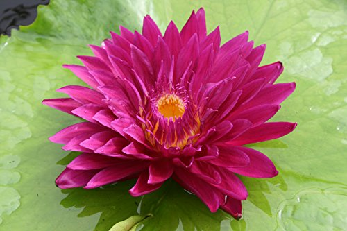 RED WATER LILY BULL'S EYE, SOLD AS: BARE ROOT