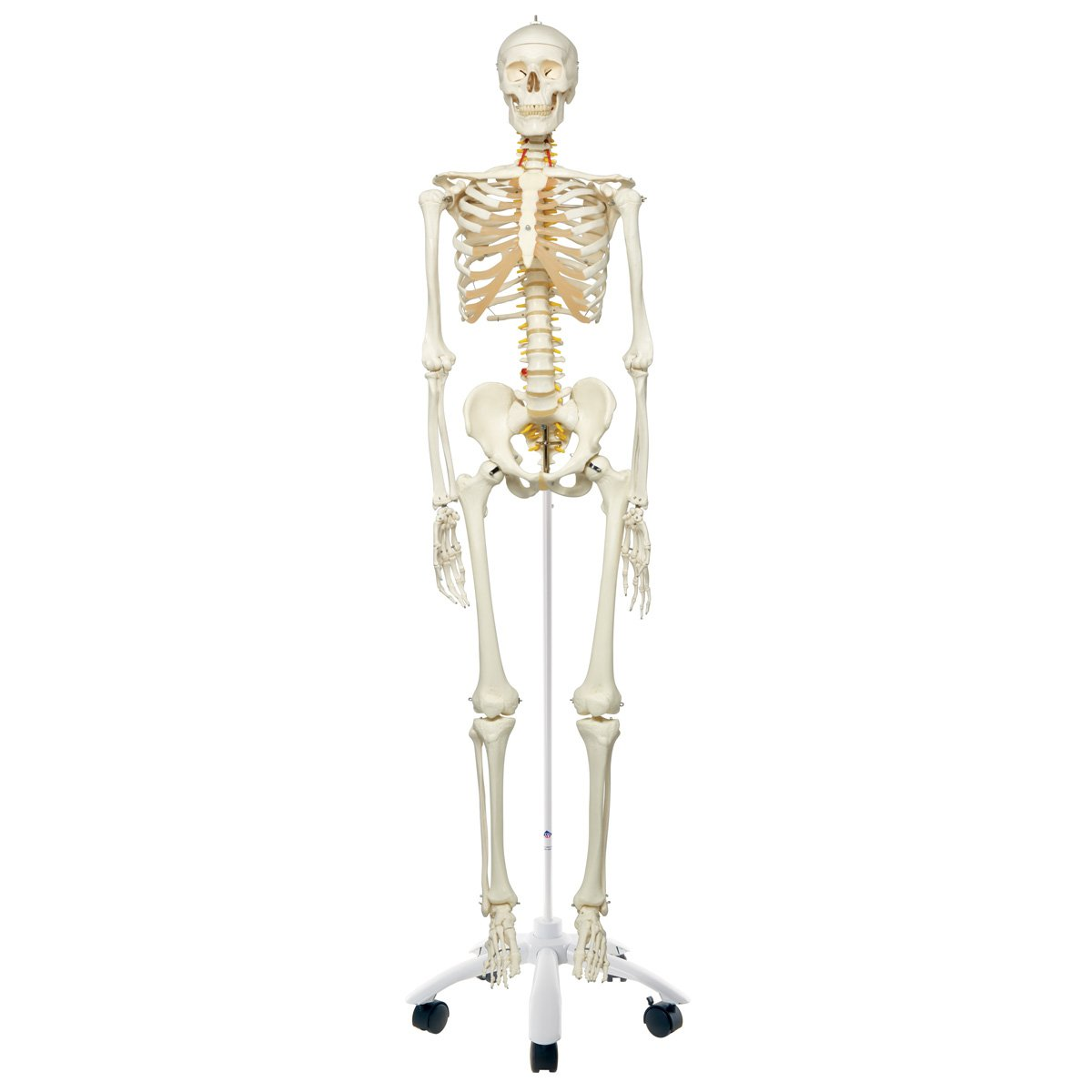 3b Scientific A15 Plastic Flexible Human Skeleton Model Fred