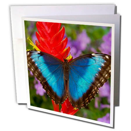 Tropical Wedding Postage (3dRose Danita Delimont - Hummingbirds - Tropical Butterfly the Blue Morpho on ginger flower - 12 Greeting Cards with envelopes (gc_278011_2))