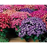 TrustBasket Open Pollinated Cineraria mixed seeds