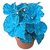 50Pcs Begonia Seeds, Coleus Begonia Flower Seeds Bonsai Plants Balcony Home Garden Decor (Blue)