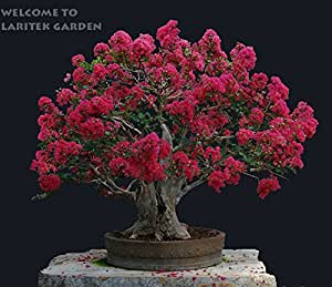Free shipping .100 pcs Cheap Home Plants HEIRLOOM SEED CRAPE MYRTLE BONSAI FLOWER SEEDS Garden Supplies Creepers perfume Flower